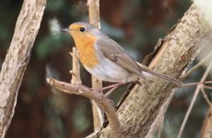 Komitee gegen den Vogelmord - Rotkehlchen